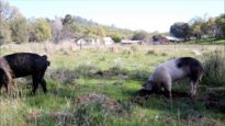 Piglets Explore Pasture, Meet New Pigs