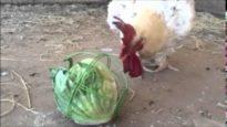 Rescued Chicken Thor