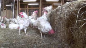 Rescued Hens from Egg Farm Free For First Time