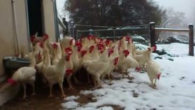 Rescued Hens See Snow for the First Time