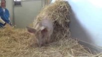 Rescued Piglet Plays in Straw
