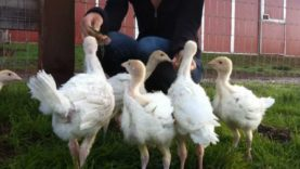 Rescued Turkey Babies Explore New Digs