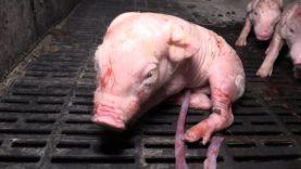 Schokkende beelden tonen het dierenleed achter de productie van varkensvlees