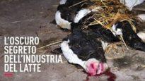 Scioccante indagine sulla crudeltà dell'industria del latte