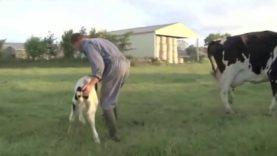 Separazione di una Madre dal suo Piccolo – Le Mostruosità dell'industria del latte