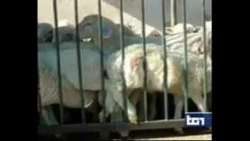 Servizio del TG1 dedicato all'investigazione negli allevamenti e macelli di agnelli in Italia