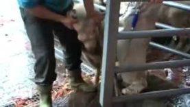 Servizio del TG1 dedicato all'investigazione di Animal Equality sulla macellazione rituale