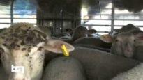 Servizio del Tg1: investigazione sul trasporto di agnelli