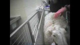 Sheep Suffering: BUAV undercover investigation at Cambridge University