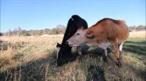 Shelby Cow Kisses Magnolia