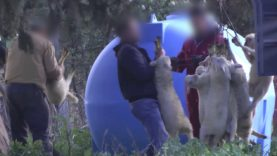 Shocking undercover investigation into lambs industry in Italy
