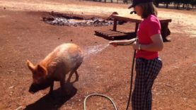 Showering Pigs With Kindness