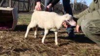 Sottratti al triste destino – Il trasporto di agnelli e il salvataggio di due di loro