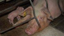 Spanish Pig Farms | An Animal Equality Documentary
