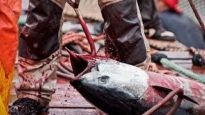 The Brutal Killing of Bluefin Tuna Exposed | Animal Equality Undercover Investigation