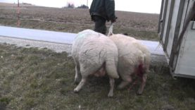 The cruel lamb industry. A baby being separated from his mother.