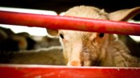 The short life of lambs – Animal Equality Undercover Investigation