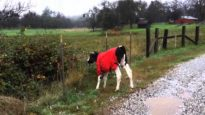 Theo Goes to New Pasture