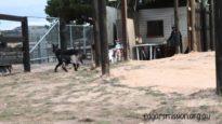 Tiger Hopping