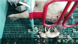 UK Pig Farms 2016