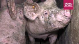 Varkens: van geboorte tot slacht