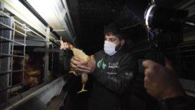 VIOLA e le altre… mai più in gabbia per produrre uova!