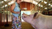 Wilbur pig eats apples