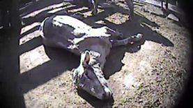 Auction Atrocities – Shocking Undercover Investigation Exposes Animal Cruelty