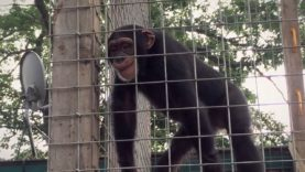 Caged Most of His Life—Louie the Chimpanzee Needs Your Help