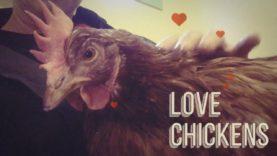 Chickens Purr