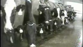 Cruelty at New York's Largest Dairy Farm