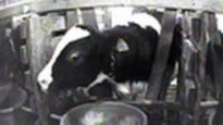 Cruelty to Baby Calves at Veal Farm in Ohio