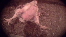 ¡ESCANDALOSO! Cámara escondida capta proveedores de Chick-fil-A torturando animales