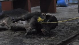 Exposed: The Mexican Government Bludgeons Animals to Death