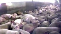 Farm to Fridge – The Truth Behind Meat Production (4-minute version)