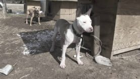 Formerly Chained Dog Meets His New Family