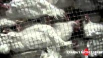 Heartless:  Inside Canada's Factory Farms
