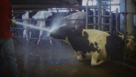 ¡HORRIPILANTE! Abuso a las vacas en granja de lácteos es captado por una cámara oculta