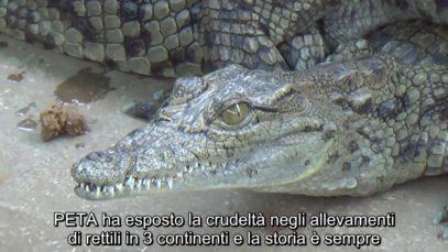 Industria della pelle di Coccodrillo in Vietnam