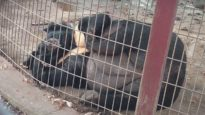 Lily the Bear Rescued After 10 Years Inside a Tiny, Filthy Concrete Pen