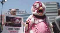 """Meet """"Abby the Abused Chicken."""" She's exposing the truth about chickens killed for meat."""
