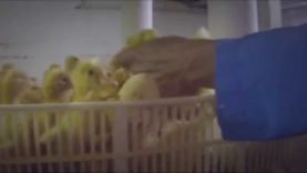 MUST SEE: Secret Video Exposes Horrific Animal Abuse at Duck Factory Farm