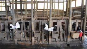 Orfani del latte – Le Mostruosità dell'industria lattiero casearia