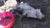 Polly Piglet making herself a mud bath :)
