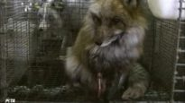 Pom-Poms Are Made of Tortured Animals