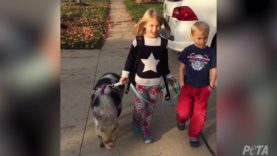 Rescued Pig Celebrates First Christmas With New Family