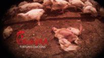 SHOCKING! Chick-fil-A Suppliers Caught on Hidden-Camera Torturing Animals
