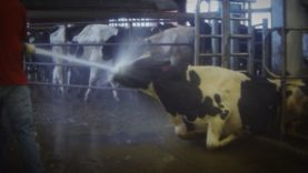 SHOCKING! Dairy Farm Caught Abusing Cows on Hidden-Camera Video