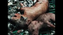UK Pig Farms 1min 4:3