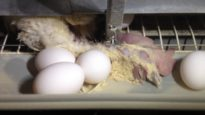 Vous ne devinerez jamais comment les œufs sont fabriqués